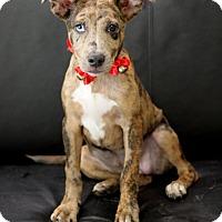 Adopt A Pet :: Sheba - Dalton, GA