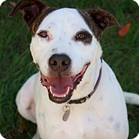 Bull Terrier Mix Dog for adoption in Nashville, Tennessee - Nelson