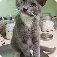 Domestic Shorthair Kitten for adoption in Bensalem, Pennsylvania - Kila