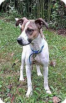 Terrier (Unknown Type, Small)/Cattle Dog Mix Dog for adoption in Racine, Wisconsin - Fuzz