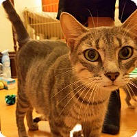 Domestic Shorthair Cat for adoption in joliet, Illinois - Mamma Kitty