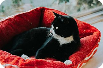Domestic Shorthair Cat for adoption in Indianapolis, Indiana - Half Stache