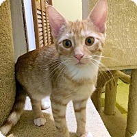 Domestic Shorthair Kitten for adoption in Mooresville, North Carolina - A..  Alex