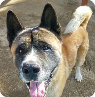 Akita Dog for adoption in Romoland, California - Tomatsu