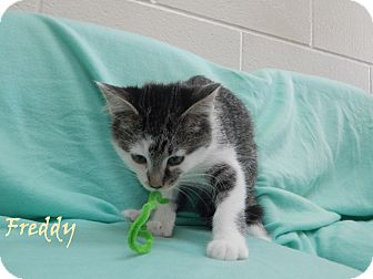 Domestic Shorthair Kitten for adoption in Bucyrus, Ohio - Freddy