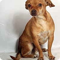 Adopt A Pet :: Comet (Sweetheart) Chi - St. Louis, MO