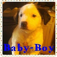 Australian Cattle Dog/Pit Bull Terrier Mix Puppy for adoption in Wichita Falls, Texas - Baby Boy