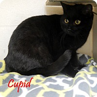 Adopt A Pet :: Cupid - Bucyrus, OH