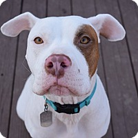 American Pit Bull Terrier/Pit Bull Terrier Mix Dog for adoption in Dayton, Ohio - Riley