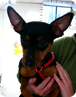 Miniature Pinscher Dog for adoption in Manassas, Virginia - Max