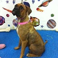 Adopt A Pet :: Munchkin - Austin, TX