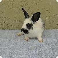 Adopt A Pet :: Kassandra - Bonita, CA