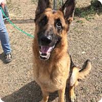 Adopt A Pet :: Shiiloh - Hamilton, MT