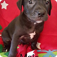 Adopt A Pet :: Shirley's Puppy - Rick - Midlothian, VA