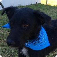 Adopt A Pet :: Hank - Buffalo, NY