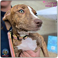 American Pit Bull Terrier Mix Dog for adoption in Maricopa, Arizona - Monroe 1