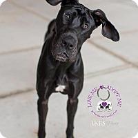 Adopt A Pet :: Blossom - Huntersville, NC
