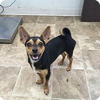 Adopt A Pet :: Little Bit - Chico, CA