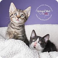 Adopt A Pet :: kittens - Apache Junction, AZ