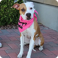 American Bulldog/American Pit Bull Terrier Mix Dog for adoption in Las Vegas, Nevada - VERSACE