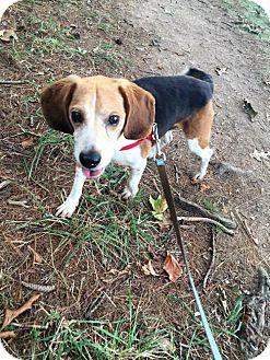 Beagle Dog for adoption in Westminster, Maryland - Donny