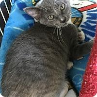 Russian Blue Kitten for adoption in Island Park, New York - Sydney