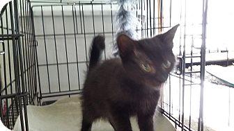 Domestic Shorthair Kitten for adoption in Port Clinton, Ohio - Maui
