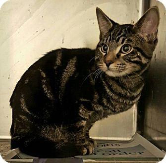 Domestic Shorthair Kitten for adoption in Lyons, Illinois - Stimpy