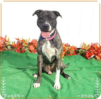 Pit Bull Terrier/American Pit Bull Terrier Mix Dog for adoption in Marietta, Georgia - STORM see also ROUGE
