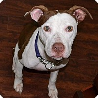 Staffordshire Bull Terrier Dog for adoption in Tampa, Florida - ButterCup (TH LS)