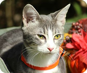 Domestic Shorthair Kitten for adoption in Ocean Springs, Mississippi - Suzy
