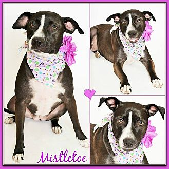 American Pit Bull Terrier/Staffordshire Bull Terrier Mix Dog for adoption in Phoenix, Arizona - Mistletoe