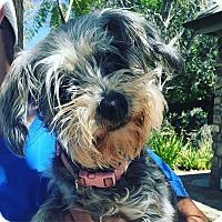 Schnauzer (Standard) Dog for adoption in Thousand Oaks, California - Baby