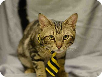 Domestic Shorthair Cat for adoption in St. Cloud, Florida - Herschel