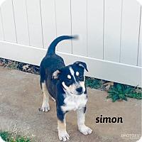 Adopt A Pet :: Simon - Snyder, TX