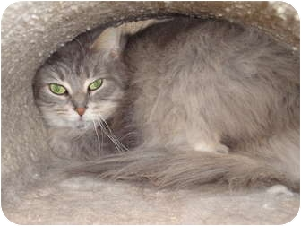 Domestic Longhair Cat for adoption in Kingston, Washington - Sade