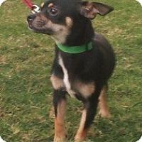 Adopt A Pet :: Chaco - Justin, TX