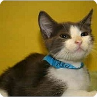 Adopt A Pet :: NORMAN - SILVER SPRING, MD