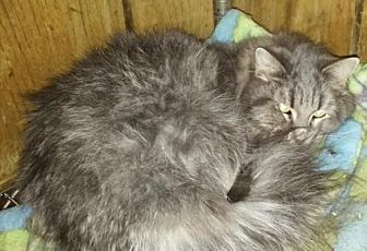 Domestic Mediumhair Cat for adoption in Surprise, Arizona - Fluffy