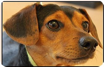 Beagle Mix Dog for adoption in Mineral Wells, Texas - Patches