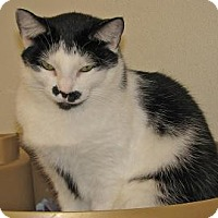 Domestic Shorthair Cat for adoption in Woodstock, Illinois - Kitty