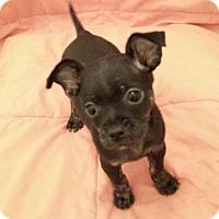 Adopt A Pet :: Rootie - Encino, CA