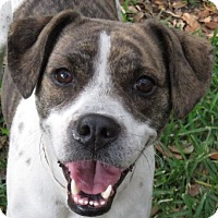 Adopt A Pet :: Dolly! Brindled & Amazing! - St Petersburg, FL