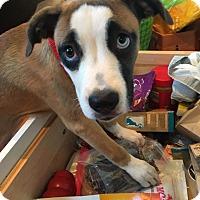 Adopt A Pet :: Amelia - Newtown, CT