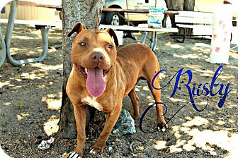 Pit Bull Terrier Mix Dog for adoption in DELANO, California - RUSTY