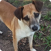 Terrier (Unknown Type, Small)/Chihuahua Mix Dog for adoption in Houston, Texas - Claudette