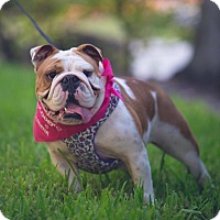 English Bulldog Dog for adoption in Boynton Beach, Florida - Bella
