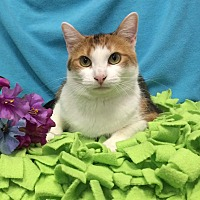Domestic Shorthair Cat for adoption in Chattanooga, Tennessee - Twix