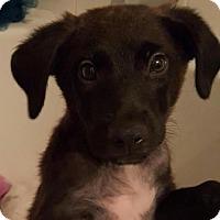 Labrador Retriever Mix Puppy for adoption in Houston, Texas - Remi