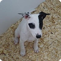 Adopt A Pet :: Sussie - Cherry Hill, NJ